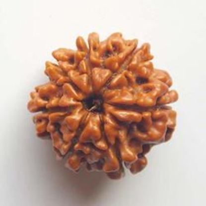 Picture of 3 mukhi indo
